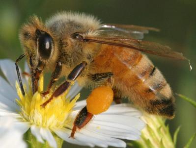 Bees Knees Pollen Harvest